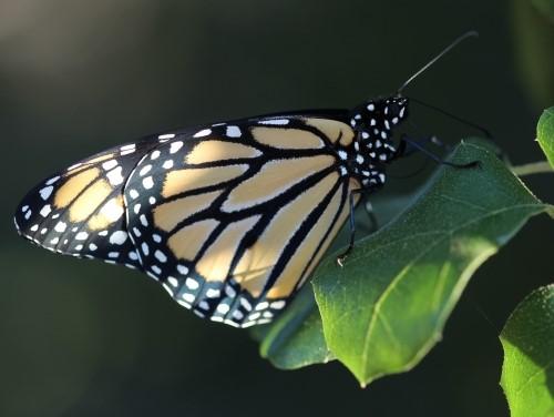 Monarch butterfly on oak