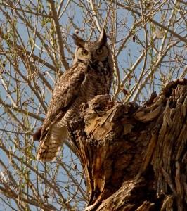 great horned owl steve brad