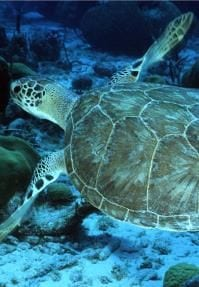 Green Sea Turtles - BVI Snorkelling