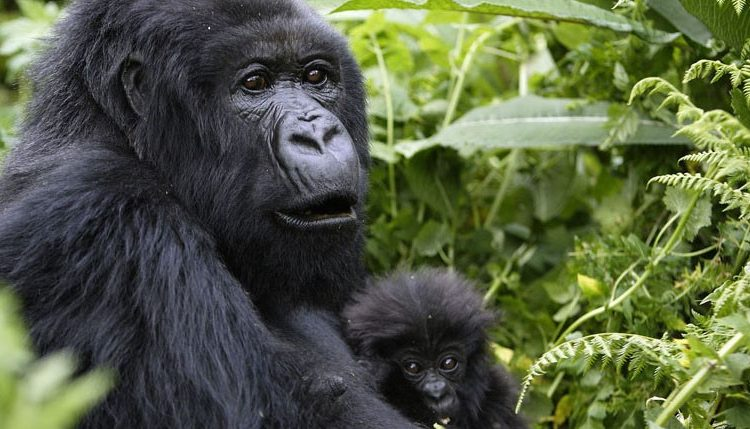 Image result for rwanda gorilla trek