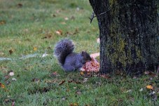 Squirrel with pizza2