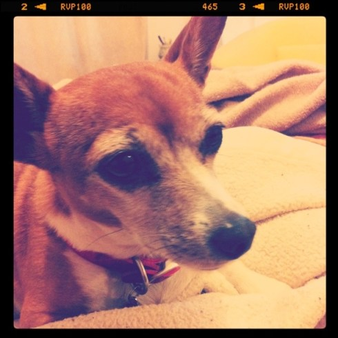 Photo of Chihuahua and Jack Russell Terrier mix