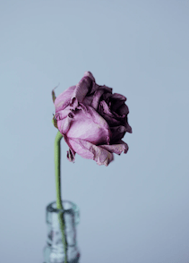 a dying rose symbolic of coping with recurrent miscarriage