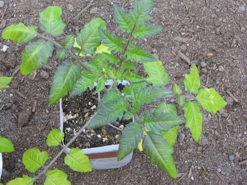 Organic Gardening 3618 Tomato Magnesium Deficiency