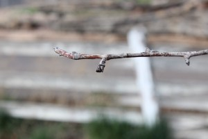 Pear Tree, that was destroyed by deer.   There are only 2 other buds this spring.