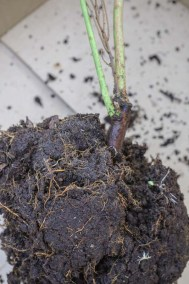 closeup of blueberry plant roots