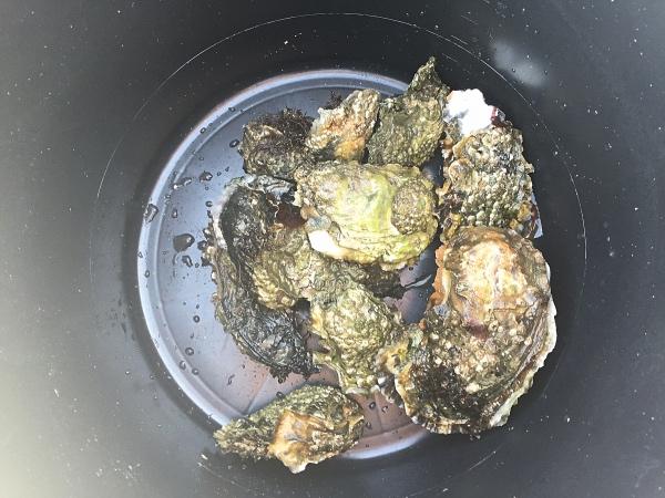 oesters-rapen-oosterschelde