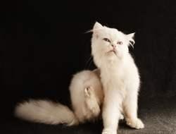 4 Tanda Kucing Kutuan itu Apa Lengkap