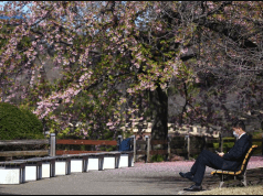 Scrapping Japan Cherry blossom 'like taking hugs away from Italians': Tokyo gov