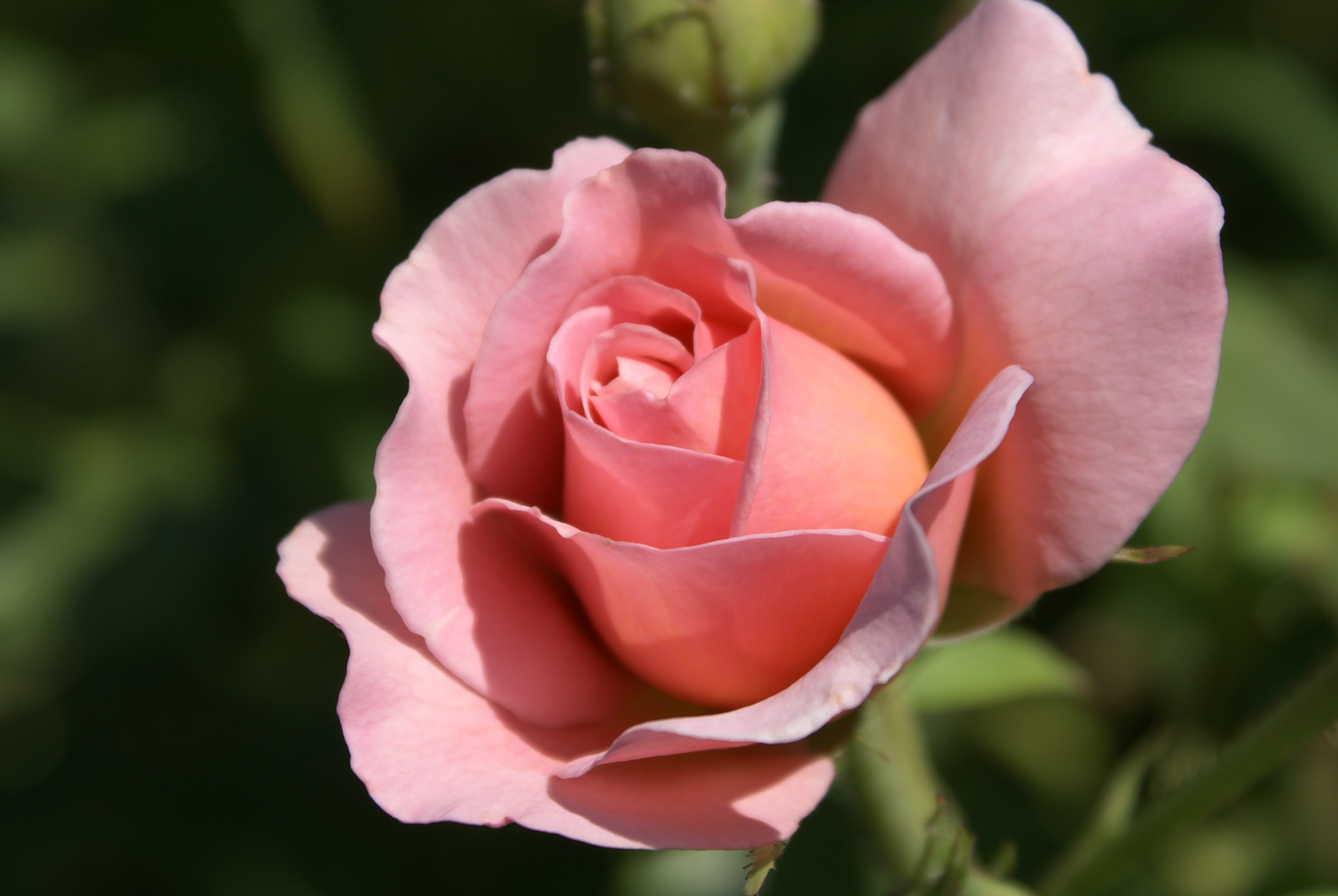 https://i2.wp.com/bythedrop.com/gallery/var/albums/plants-flowers/roses/Rose-English-Belle-Story-Blooming-Pink-Petals-Yellow-Center.jpg
