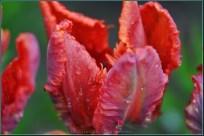 tulipany2015i3