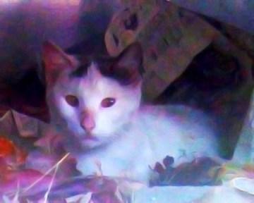 Okey's Promise white cat named Okey