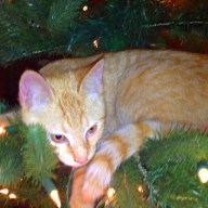 Frankie yellow buff tabby cat
