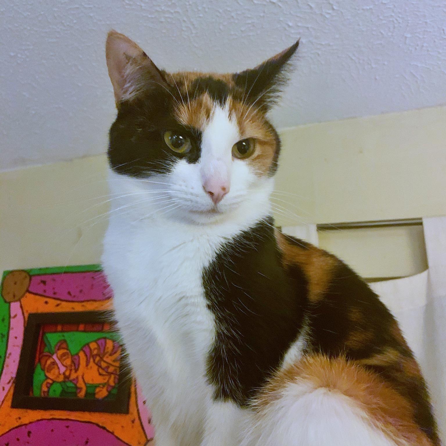 Ellie AKA Little Schtuffs Calico cat companion of Artist BZTAT