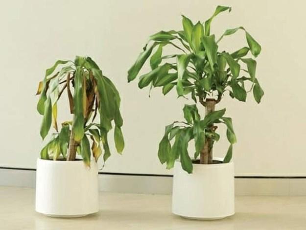دائیں جانب حوصلہ افزائی والا پودا اور بائیں جانب نفرت سننے والا پودا، فرق صاف ظاہر ہے۔ فوٹو: آئیکیا یو اے ای