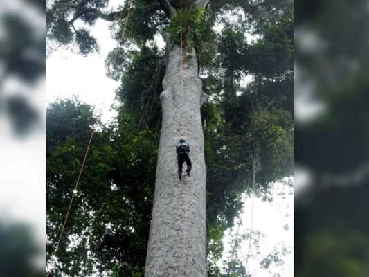 طویل القامت درخت کو یونیورسٹی آف ناٹنگھم کے محققین نے دریافت کیا جس کی لمبائی 328 فٹ ہے ۔ فوٹو : ٹویٹر