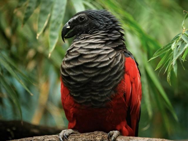 اس طوطے کو ''ڈریکولا'' کیوں کہتے ہیں؟