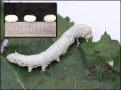 ریشم کے کیڑوں کی غذا میں تبدیلی سے مضبوط ریشم تیار