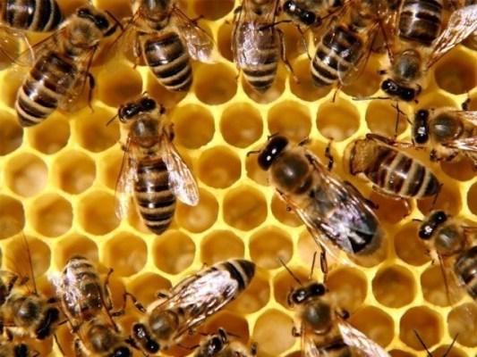 کروشیا میں ماہرین برسوں سے شہد کی مکھیوں کو بارودی سرنگیں کی تلاش کی تربیت دے رہے ہیں۔ فوٹو: فائل