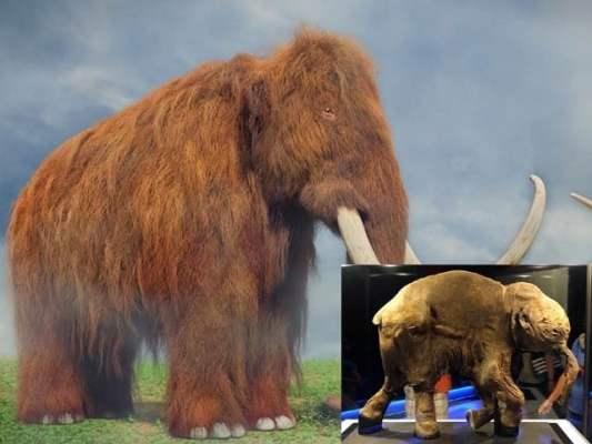 دس ہزار سال قبل ناپید ہوجانے والے میمتھ کو ایشیائی ہاتھیوں کے ذریعے کلون کیا جائے گا۔ (فوٹو: آرون ٹیم بحوالہ گیٹی امیجز)