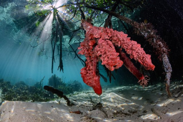 An underwater photo of sponges around mangrove roots