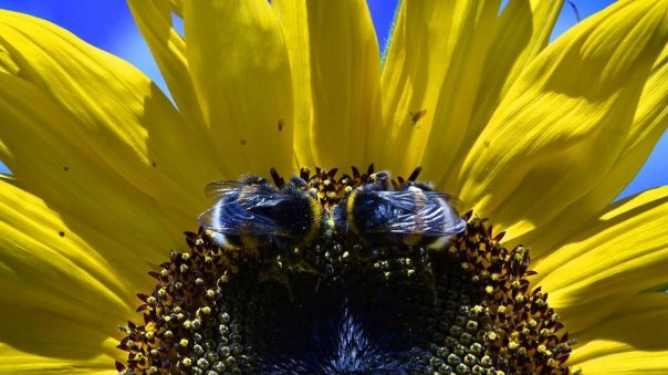 En el futuro abejas modificadas pueden cambiar ecosistemas completos.