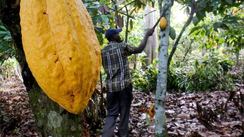 Cocoa farming in the Ivory Coast