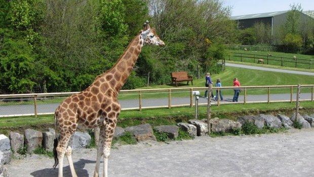 A giraffe at Folly Farm