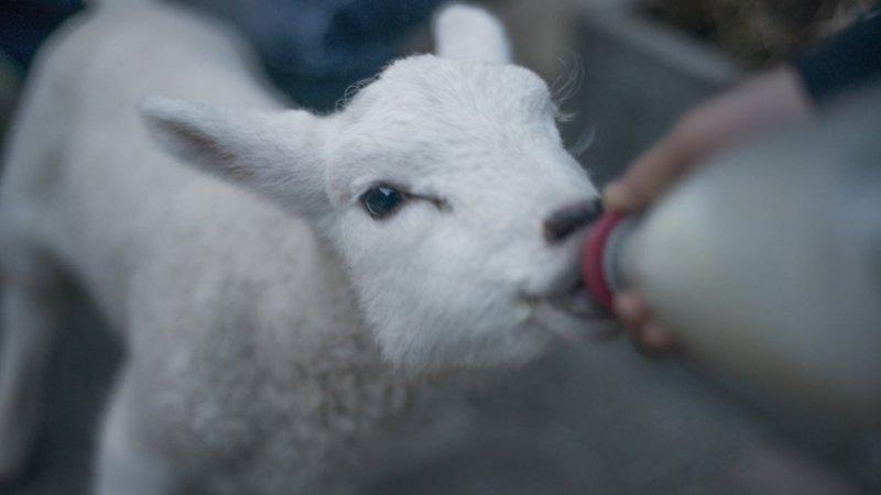Ovca pije mleko iz boce