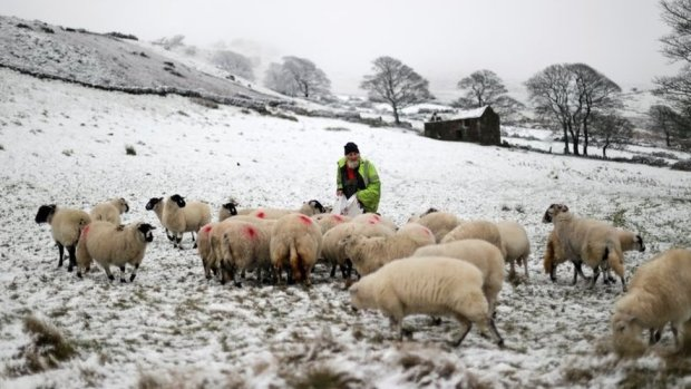 A farmer feeds his sheep after snow fall in The Roaches ridge, Staffordshire