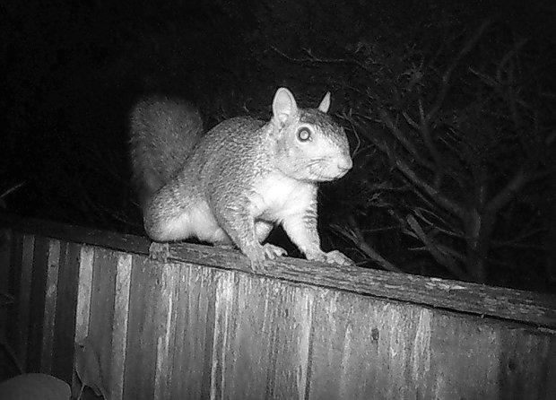 Squirrel at night