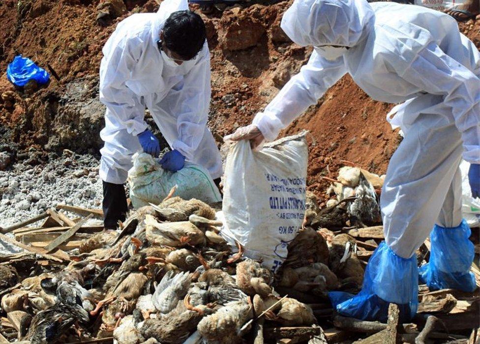 Health officials burying flocks of dead birds