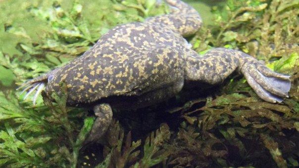 La rana africana Xenopus laevis