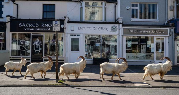 Goats stroll around deserted streets