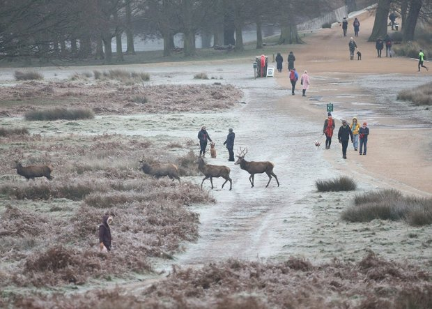 Deer roaming in a frost-covered Richmond Park