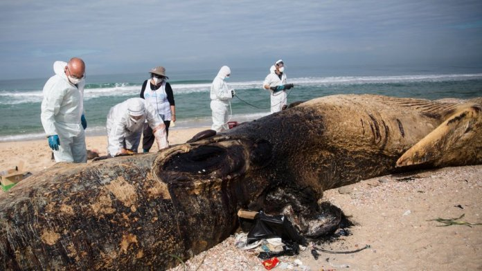 Israeli experts carry out an autopsy on a dead fin whale found on 18 February 2021