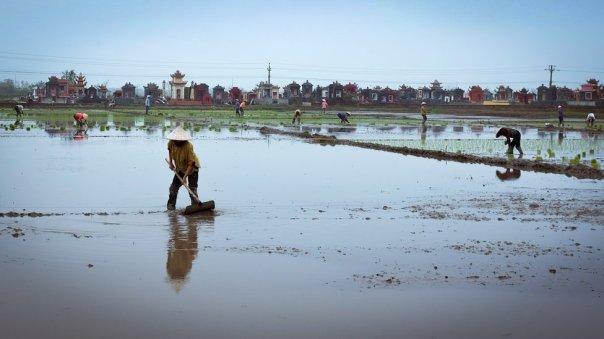 Cultivadoras en Tien Hai plantando semilleros de arroz.