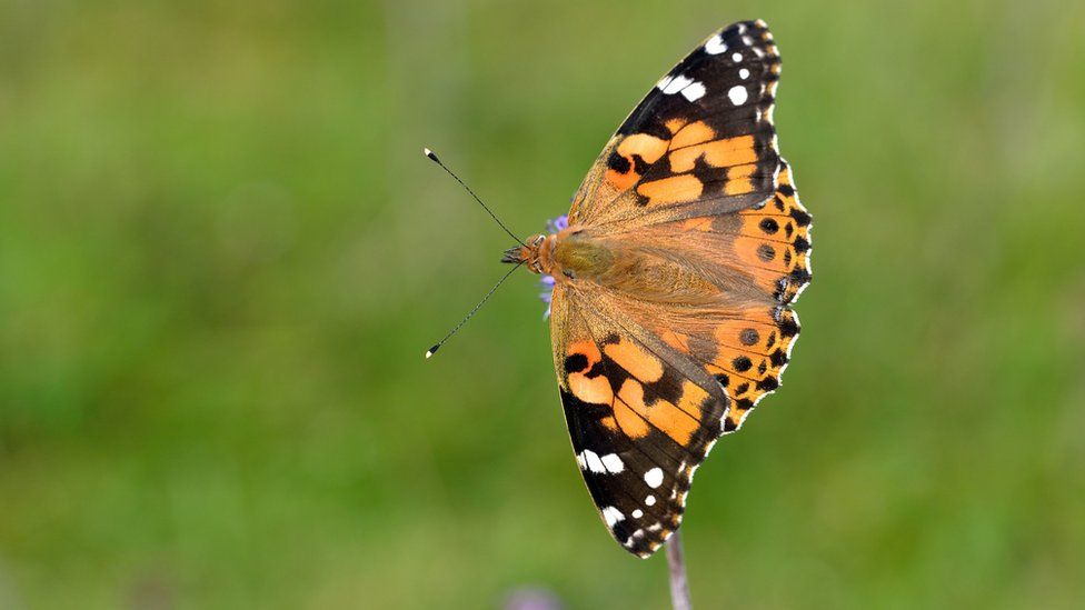 Big Butterfly Count Which Common Uk Species To Look For Bbc News