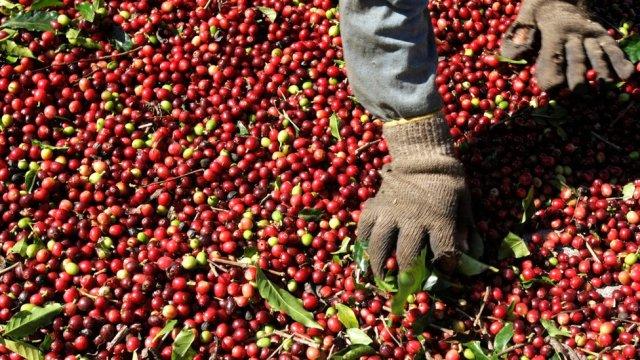 Brezilya'da kahve çekirdeği ayıklayan bir işçi.