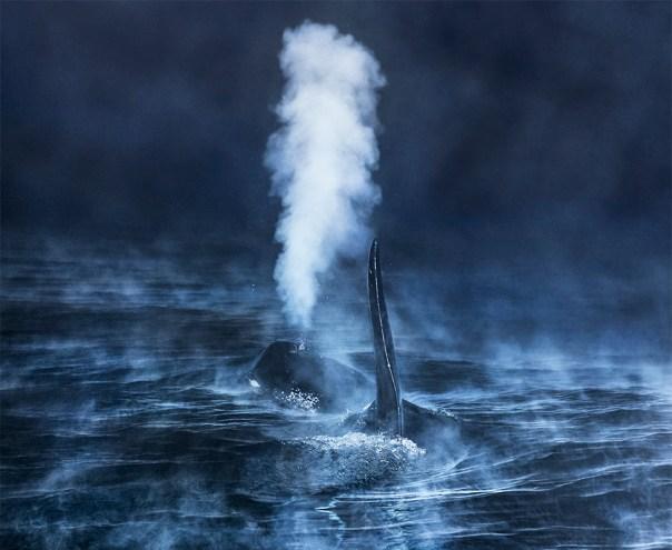 Orca en aguas de Noruega