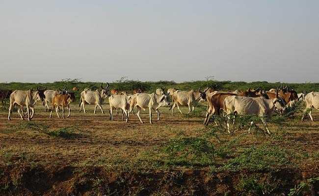 Karnataka Clears Ordinance To Stop Killing Of Cattle