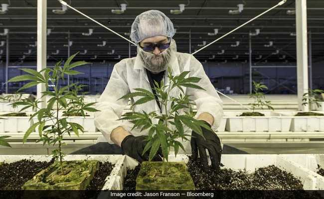 Canada's Marijuana Industry Imports Workers As Job Openings Multiply