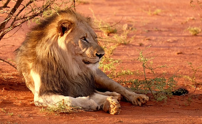 Lion Severely Injured After Being Hit By Goods Train In Gujarat: Official