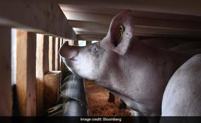 Pigs Fly In 747 Jumbo Jets As Airlines Battle Virus Losses