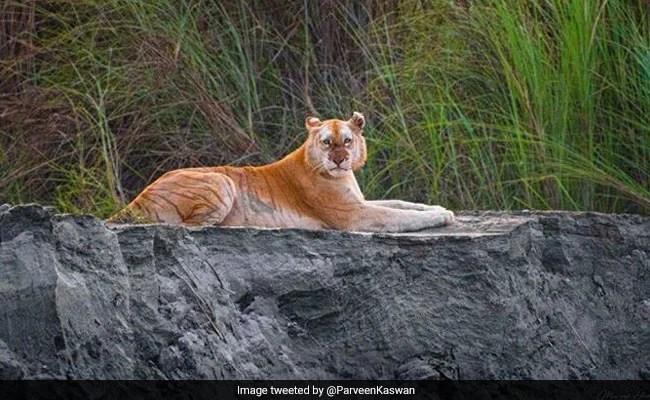 भारत के इकलौते गोल्डन टाइगर की तस्वीर सोशल मीडिया पर हुई वायरल