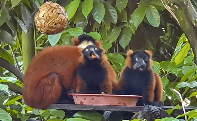 Singaporeans Get First Glimpses Of Rare Lemur Twins After Zoo Reopens