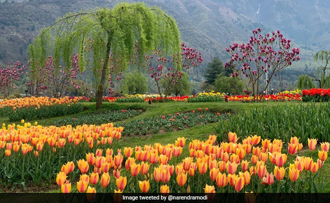 'Welcome To Paradise': Srinagar's Tulip Garden Opens For Visitors