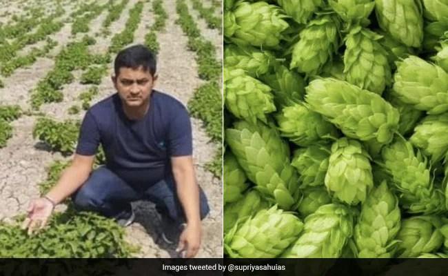Remember Bihar's Rs 1 Lakh Per kg Crop? Report Says It Was A Big Lie
