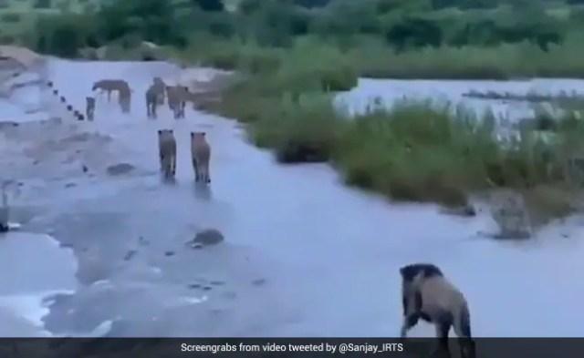 चक्रवाती तूफान ताउते के बाद सोशल मीडिया पर वायरल हुआ गिर के शेरों का वीडियो, अब सामने आया सच