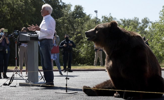 California Governor Candidate Brings 500 Kg Bear To Rally